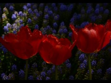 Laleler / Tulips