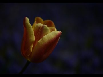 Laleler_Sumbuller_Tulips_Hyacinths_Bl04_FatihGelincik