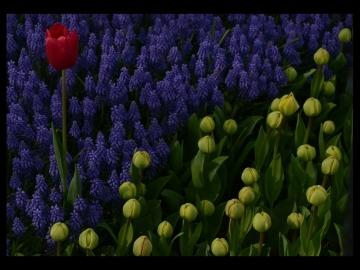 Laleler_Sumbuller_Tulips_Hyacinths_Bl06_FatihGelincik