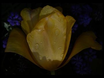 Laleler_Sumbuller_Tulips_Hyacinths_Bl11_FatihGelincik