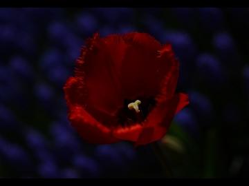 Laleler_Sumbuller_Tulips_Hyacinths_Bl13_FatihGelincik