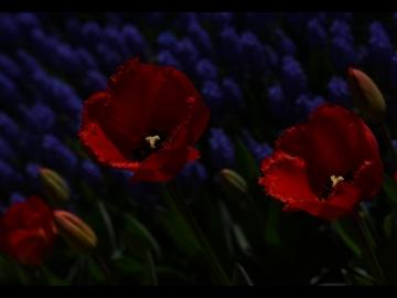 Laleler_Sumbuller_Tulips_Hyacinths_Bl14_FatihGelincik