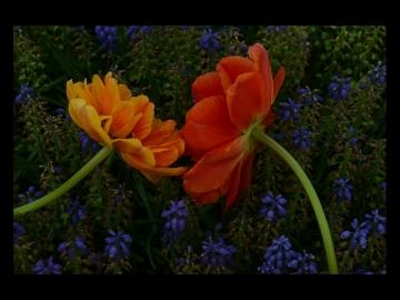 Laleler_Sumbuller_Tulips_Hyacinths_Bl15_FatihGelincik