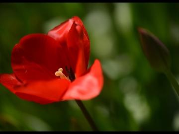 Laleler_Tulips_Tulpen_Bl01_2018_FatihGelincik
