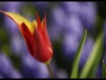 Laleler_Tulips_Tulpen_Bl041_2018_FatihGelincik