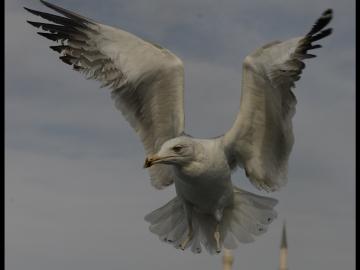 Martılar / Seagulls