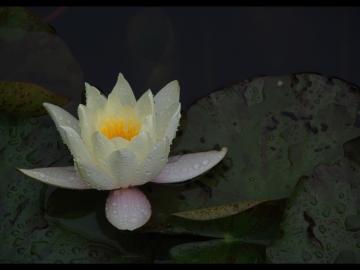 Niluferler / Waterlilies