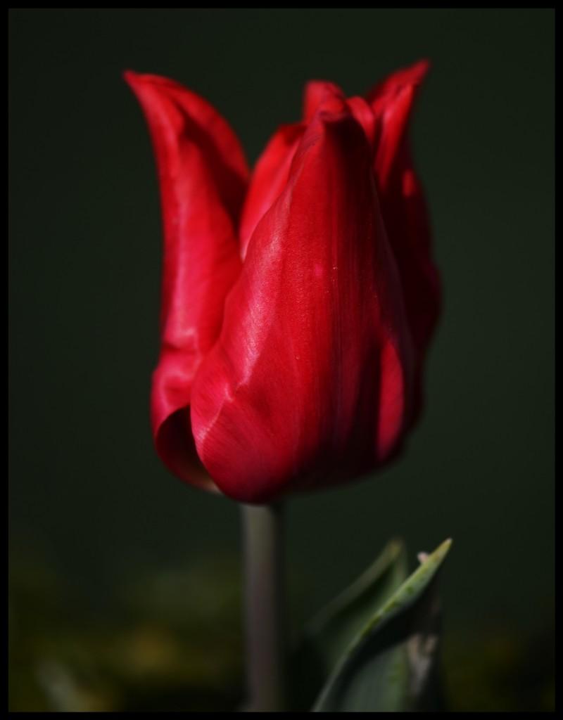 Lale_Tulip_Bl6101_FatihGelincik