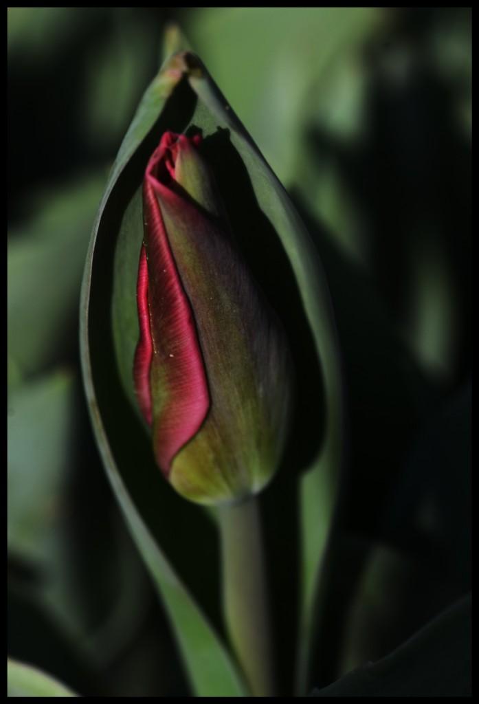 Lale_Tulip_Bl6106_FatihGelincik