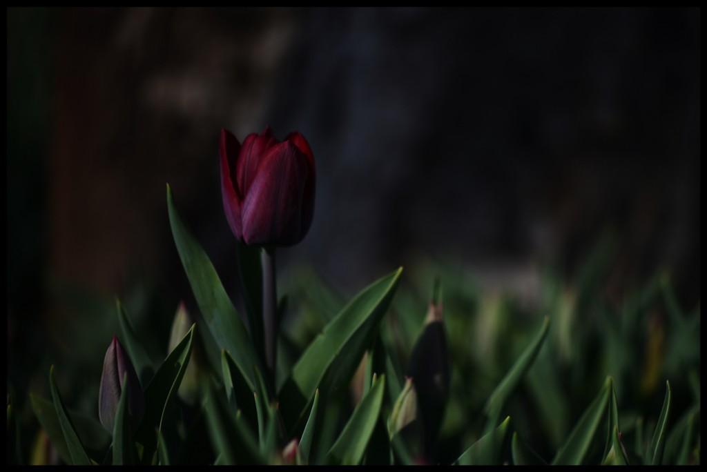 Lale_Tulip_Bl6107_FatihGelincik