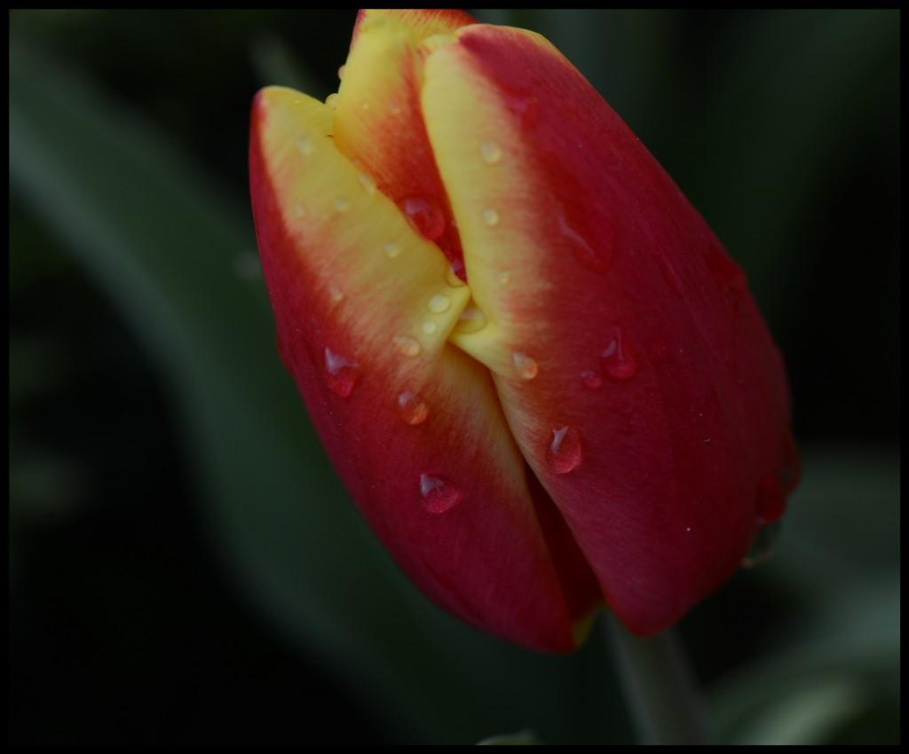 Lale_Tulip_Bl6109_FatihGelincik