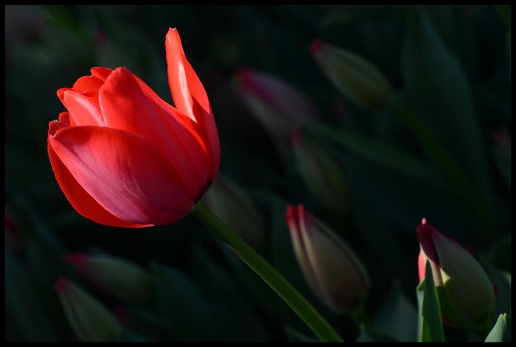 Lale_Tulip_Bl6111_FatihGelincik