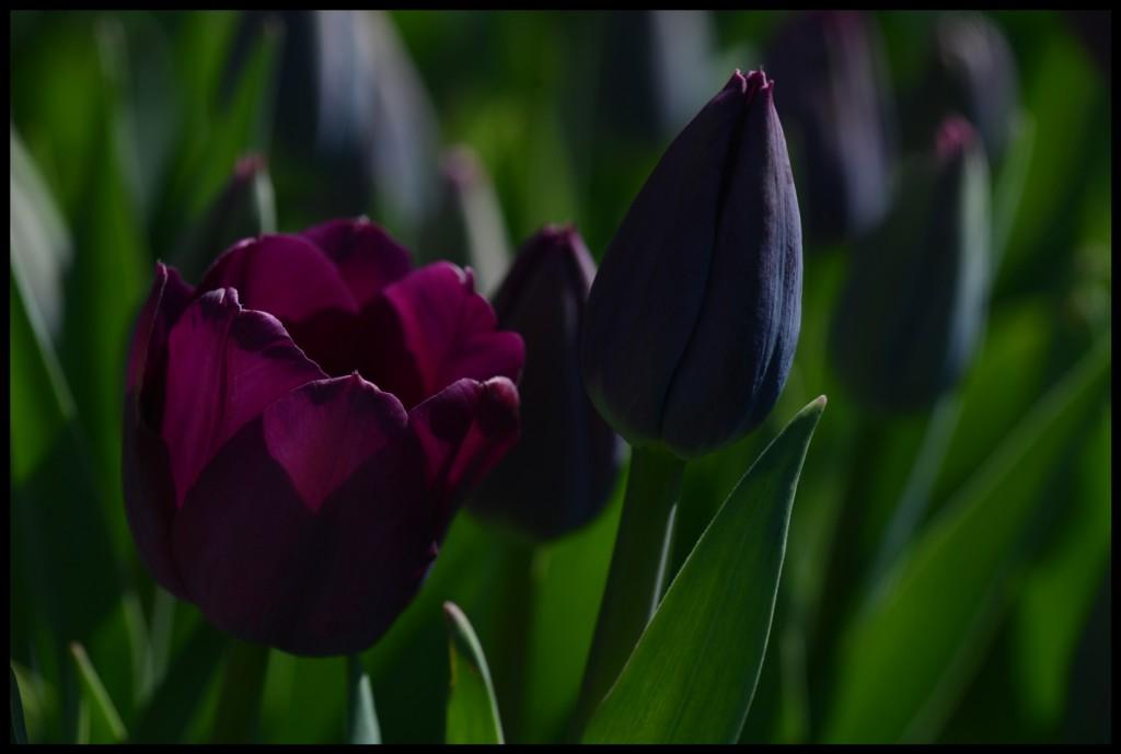 Lale_Tulip_Bl6112_FatihGelincik