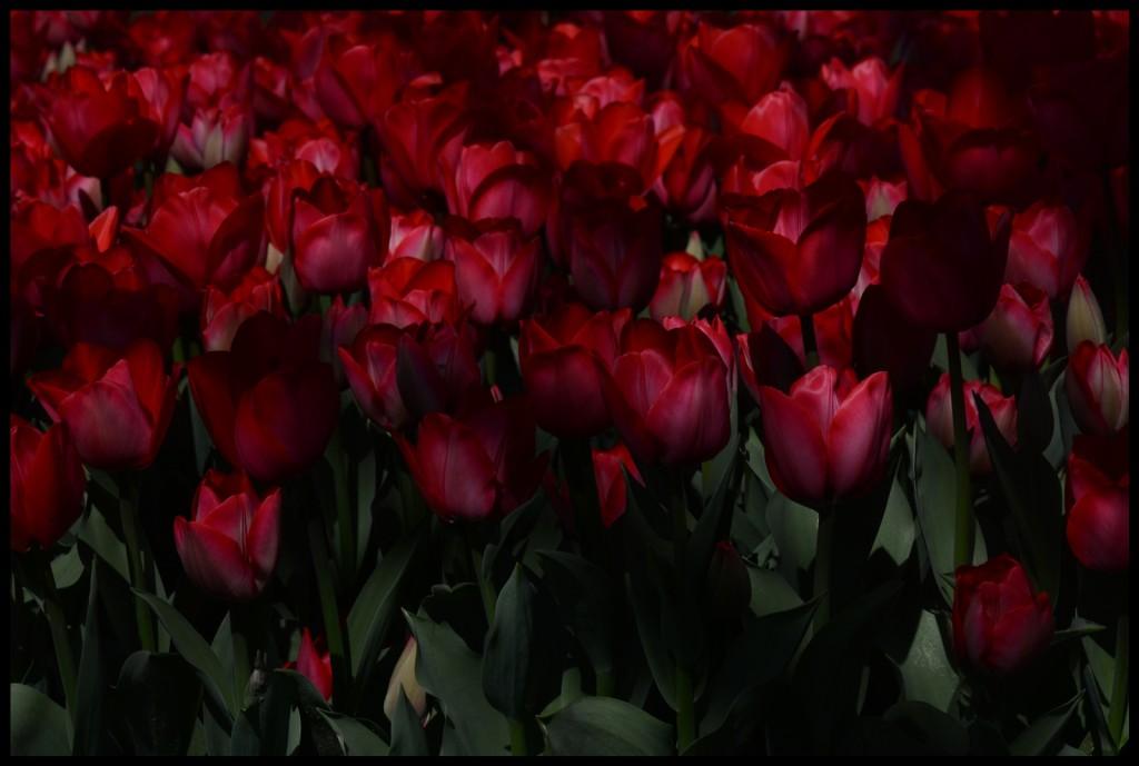 Lale_Tulip_Bl6113_FatihGelincik