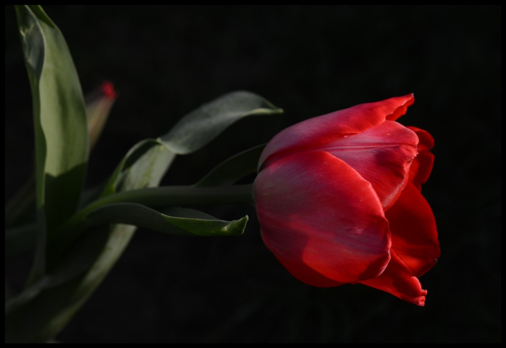 Lale_Tulip_Bl6115_FatihGelincik