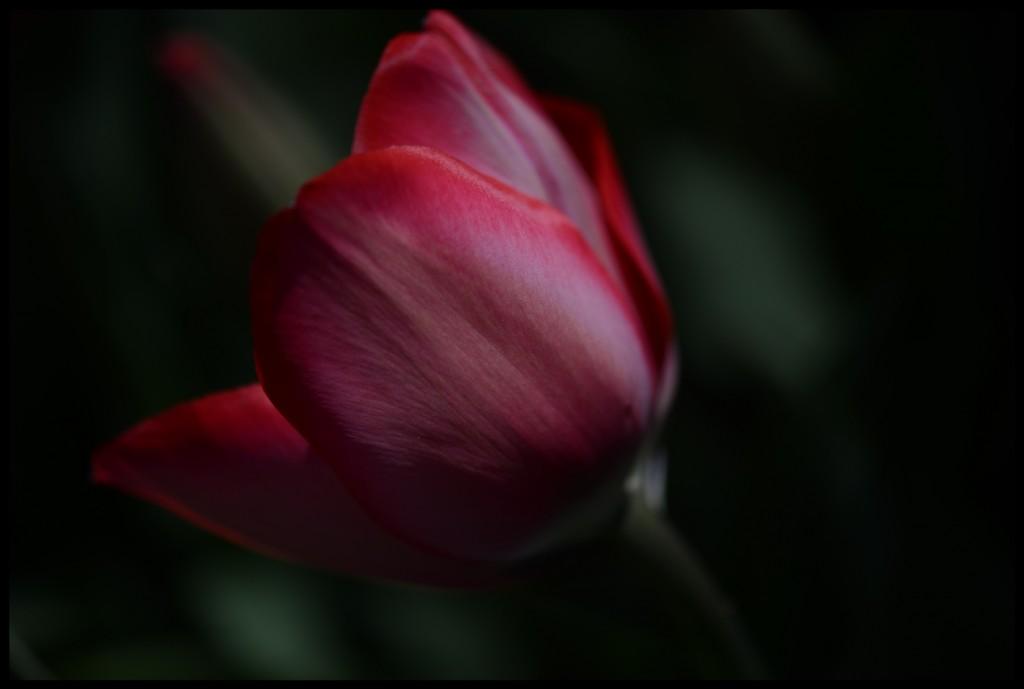 Lale_Tulip_Bl6120_FatihGelincik