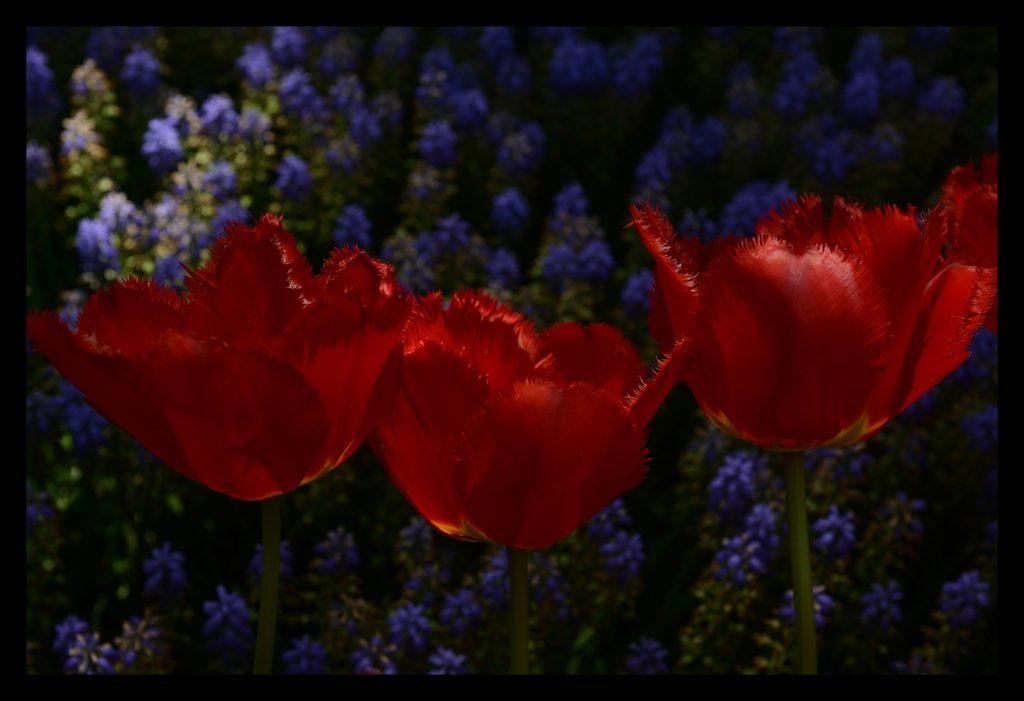 Laleler_Sumbuller_Tulips_Hyacinths_Bl01_FatihGelincik