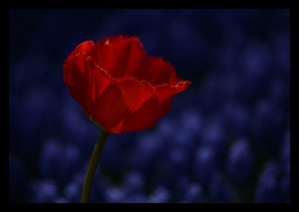 Laleler_Sumbuller_Tulips_Hyacinths_Bl03_FatihGelincik
