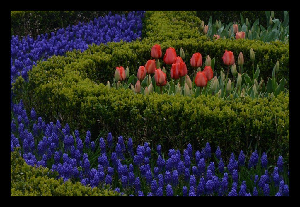Laleler_Sumbuller_Tulips_Hyacinths_Bl05_FatihGelincik