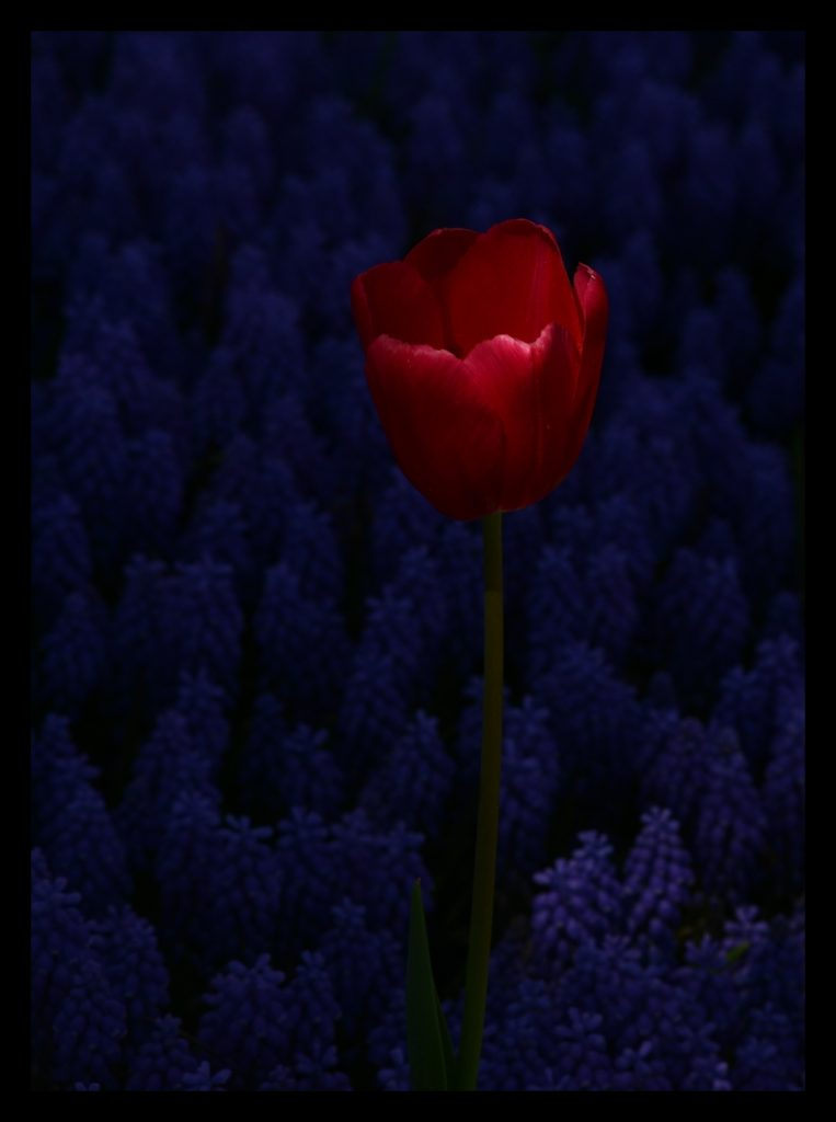 Laleler_Sumbuller_Tulips_Hyacinths_Bl10_FatihGelincik