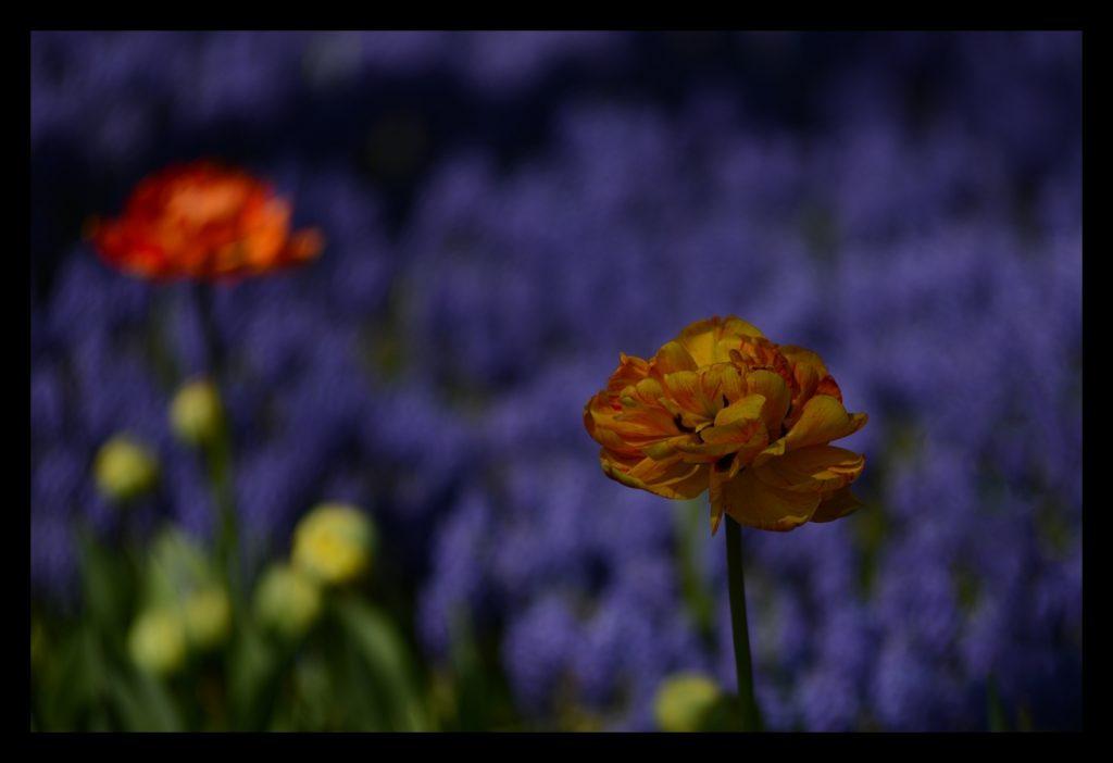 Laleler_Sumbuller_Tulips_Hyacinths_Bl12_FatihGelincik
