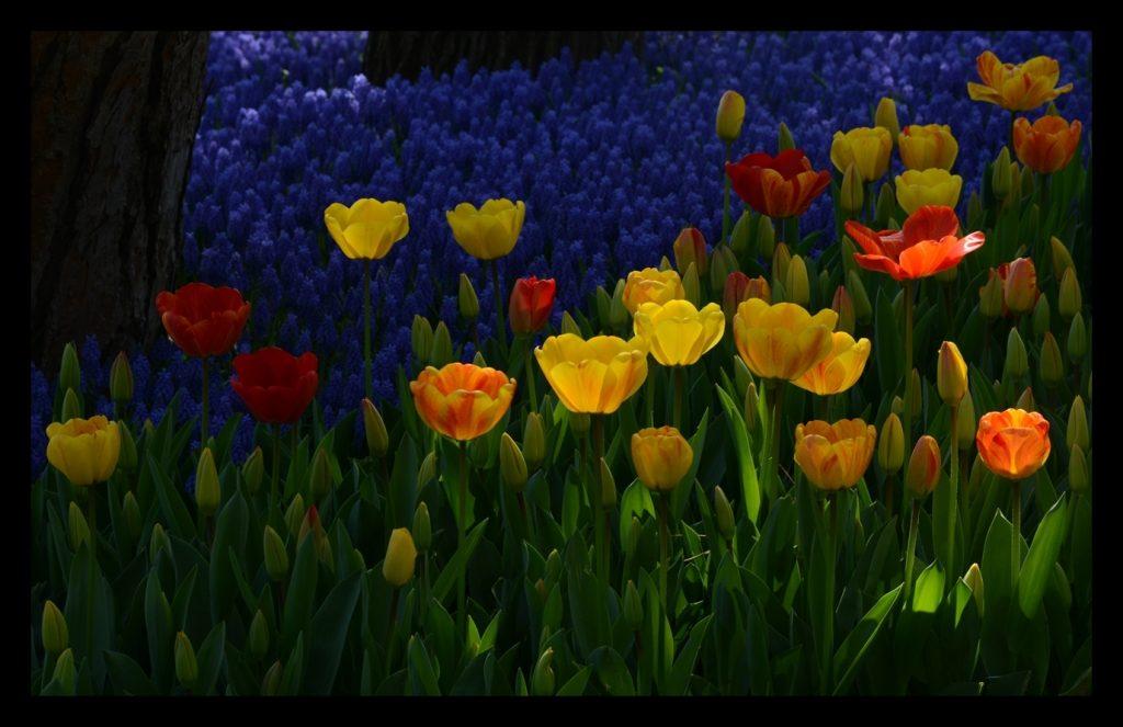 Laleler_Sumbuller_Tulips_Hyacinths_Bl16_FatihGelincik