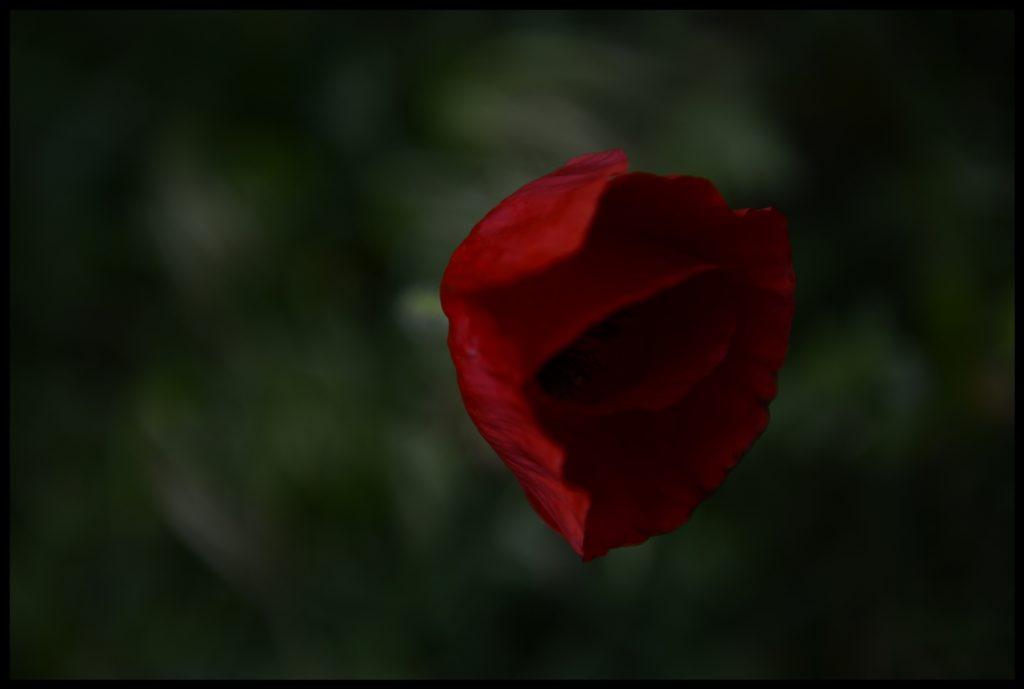 Gelincik_Poppy_Bl6504_FatihGelincik